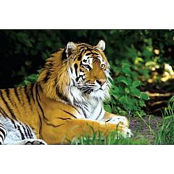 Wall mural amur tiger