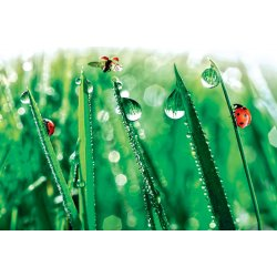 Wall Mural Fresh Morning Dew and Ladybird (11875509)