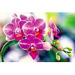 Wall Mural Phalaenopsis Orchidaceae