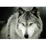 Wolf Photo Wallpaper Mural (2937VE)